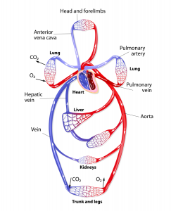 scalar waves and the human möbius coil system scalar heart connection the circulation of blood throughout the body resembles the figure eight shape of the möbius coil